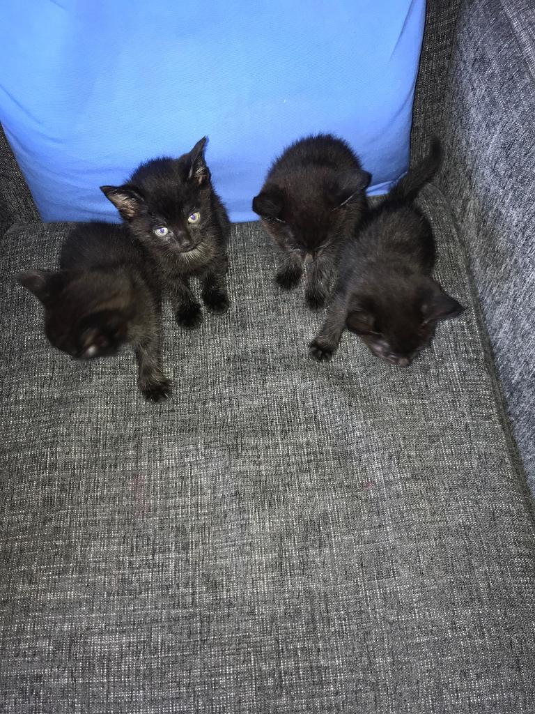 Kittens For Sale Cheap In Hillington Glasgow Gumtree