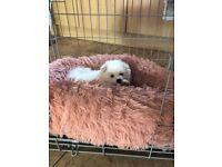 Pomeranians puppies for sale