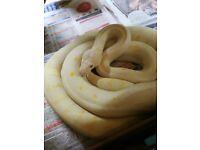 Albino carpet pyhon