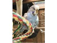 2 young budgies for sale