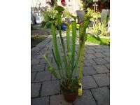 Carnivorous Plant, Sarracenia Flava large, exotic pitcher plant catches flies