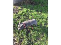 Blue male French bulldog looking for forever home