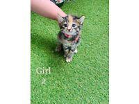 Bengal x Tabby kittens (Last Female left)
