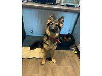 7 month old German shepherd puppy for sale