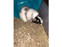 Gorgeous Baby American Female Guinea Pigs (Bonded Pair)