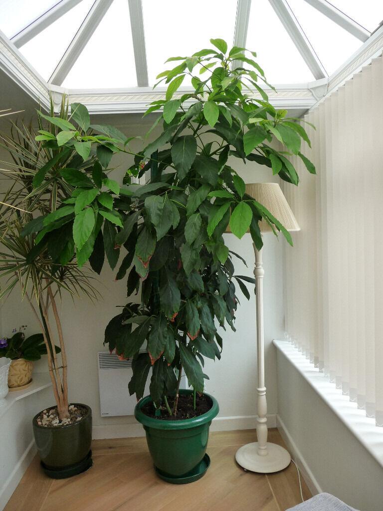 Avocado Plant In Pot