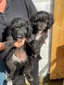 Colliepoo puppies 2 girls left