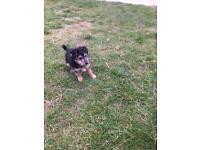 Diesel terrier puppy for sale