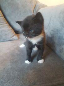 Fluffy maine coon x kittens