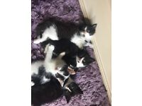 4 adorable black and white kittens for sale