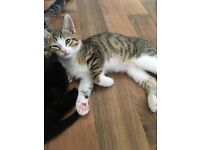 Kitten for sale !!
