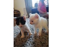 Black&white, pure white kittens