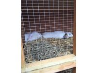 2 bonded/neutered rabbits with hutch and run male and female
