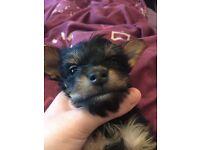 Last little adorable male purebred Yorkshire terrier left