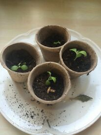 4 X Mexican hat Seedlings