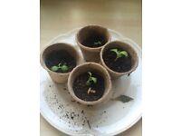 4 X Mexican hat Seedlings