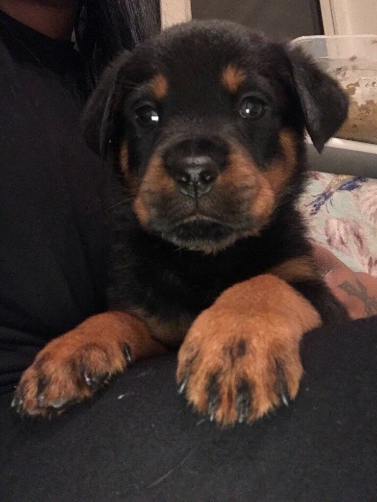 Last Male Rottweiler Puppy In Harlow Essex Gumtree