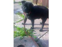 pug black girl 25mths full pedigree kc reg