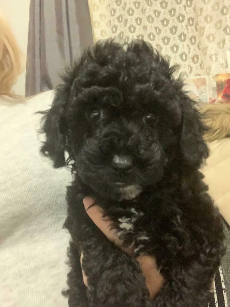 Yorkiepoo Pups For Sale In South East London London Gumtree