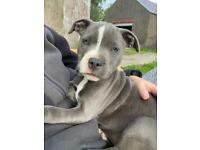 *ONLY 2 GIRLS LEFT** Blue Staffordshire Bull Terriers