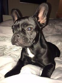 Black french bulldog bitch