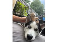 Husky needs new home 6 months old