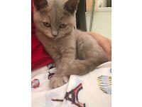 British Shorthair Cat 5 Months old Grey