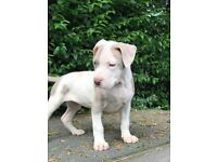 American xl bully puppies female ready now