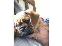 14 week old puppy for sale ( as seen on TOWI)