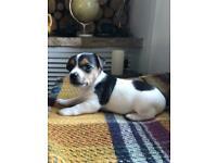 Miniature Jack Russell puppie