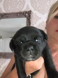 Gorgeous Labrador x puppies