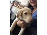 KC Registered golden lab pup