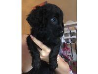 Sprockerpoo puppie (cockapoo x sprocker spaniel)