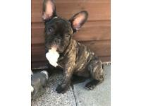 Litter of 7 KC French Bulldog puppies REDUCED