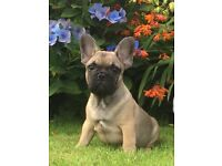 Kc reg french bulldog
