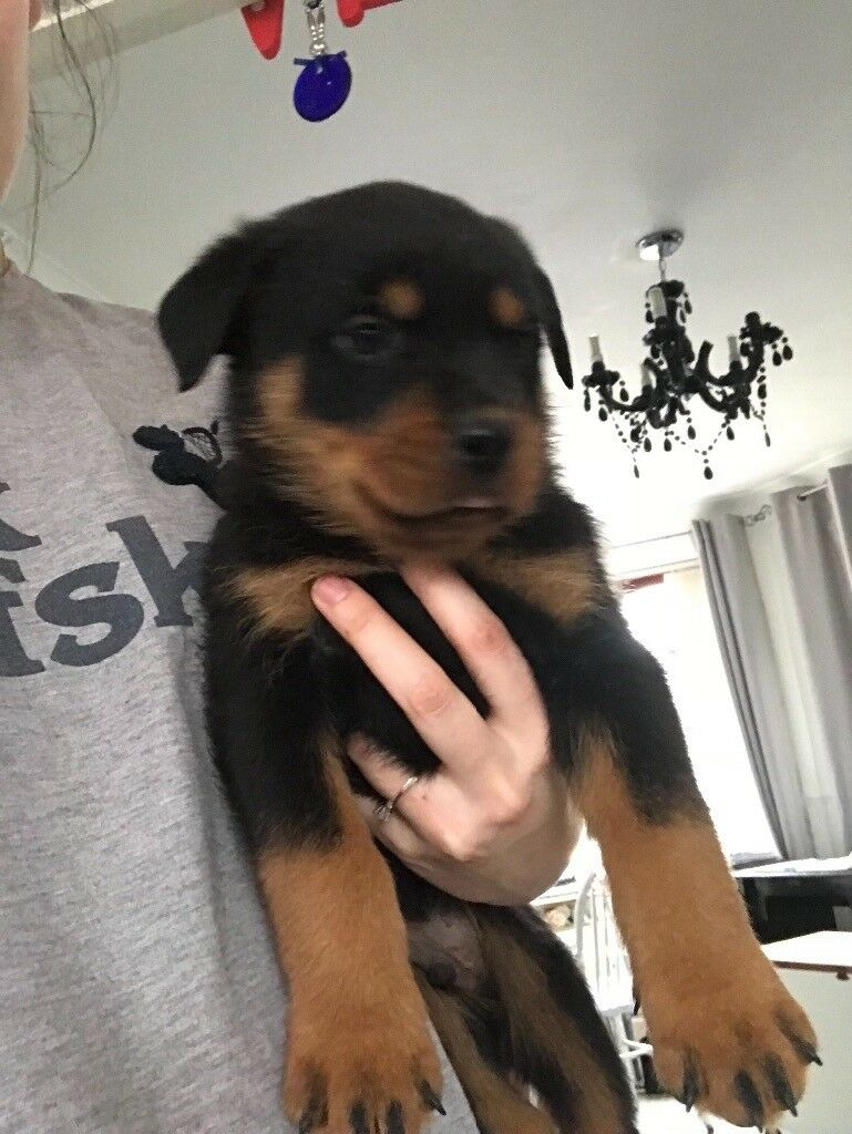 Lion Faced German Rottweiler Puppies In Hull East Yorkshire Gumtree