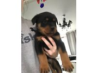 Lion faced German Rottweiler puppies