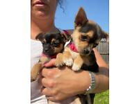 2 beautiful girl Chihuahua puppies
