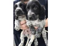 blue roan Cocker spaniel puppies