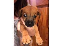 Miniature dachshund cross puppy