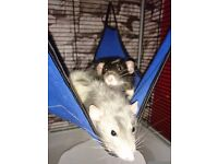 Male dumbo eared rats