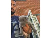 Bully xl puppy