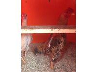 Ko Shamo game chickens