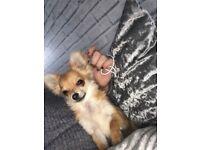 Puppy tiny Tea cup chihuahua