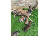 Belgian Malinois puppy's for sale