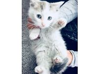 ADORABLE WHITE AND GREY KITTEN
