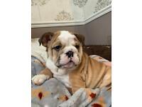 8 week old British bulldog