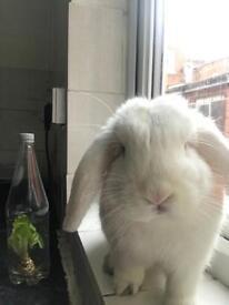 Lopped ears white rabbit