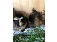 Pair of beautiful baby boy guinea pigs