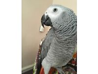 Missing african grey parrot with red tail